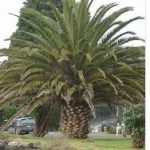 3 150x150 - Palm Tree Cleaning Adelaide - Saving Money and Beauty